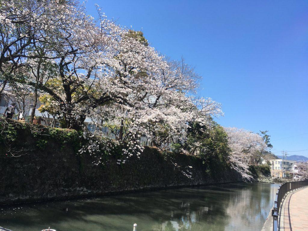駿府城公園,水落側から見た桜。